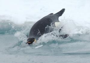 tuffo-pinguino